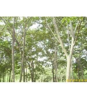 供应雪松,朴树,榉树,榔榆,栾树,乌桕,枫杨