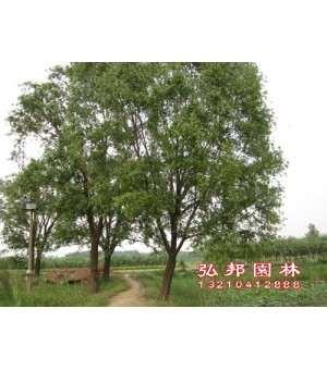 供应柳树,9901柳,万亩速生柳种植基地