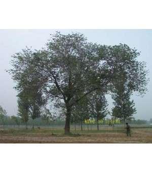 供应榆树,榆树报价,最大的榆树基地
