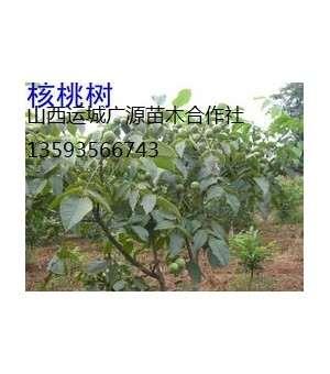 核桃树出售、2-5公分核桃树、核桃树价格