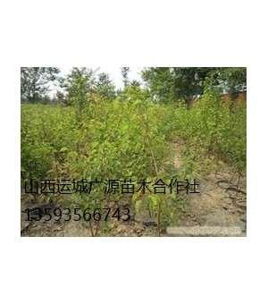 梨树出售、2-3公分梨树、梨树苗大量供应