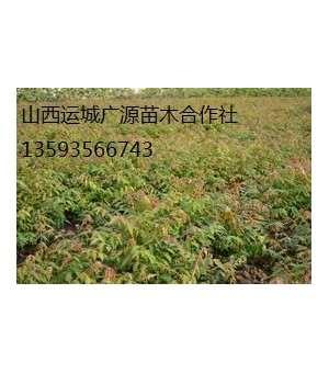 香椿苗出售、1米以上香椿苗价格优惠