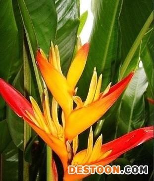 红苞蝎尾蕉