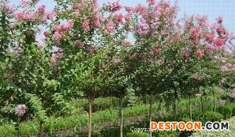紫薇的栽培与常见的病以及防御
