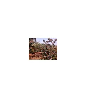 山楂树1-20公分山楂树 苹果树 樱桃树 核桃树 枣树