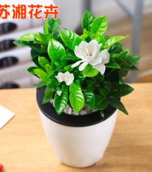 茉莉花盆栽