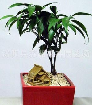 竹柏小型盆栽