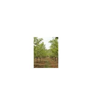 占地梨树 1---15公分梨树