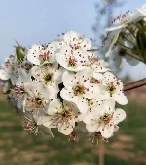 彩叶豆梨春