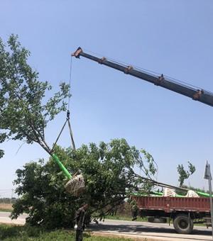 15cm栾树