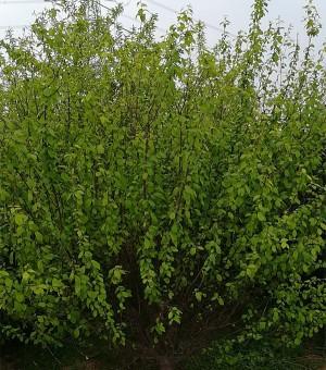 8cm-10cm低分枝榆叶梅