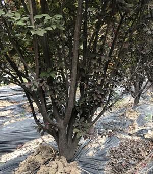 地径10cm丛生红叶李