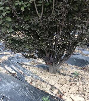 地径8cm丛生红叶李