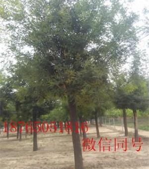 山东12公分国槐两年冠一级树,12公分法桐移栽2年冒