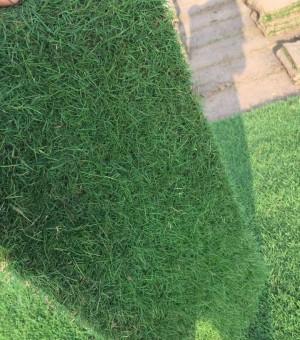 马尼拉草坪,草坪价格,草坪批发绿化草坪13775528172